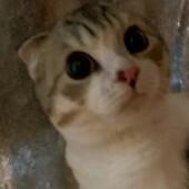 短毛種の猫に関するアンケートvol.01
